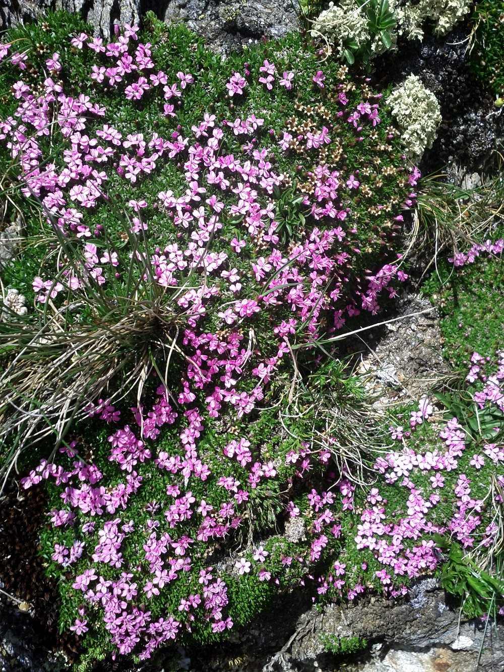 Pink alpine flowers at Birnlücken, Hohe Tauern