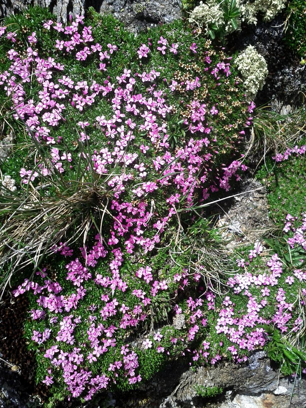 Pink alpine flowers at Birnlücken, Hohe Tauern