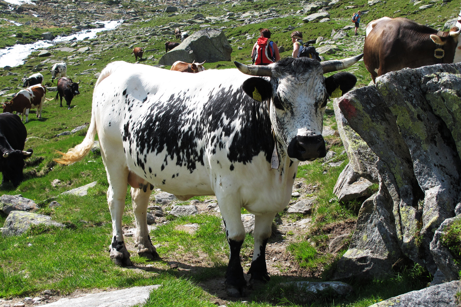 A black and white cow in the high Alps, Austria.